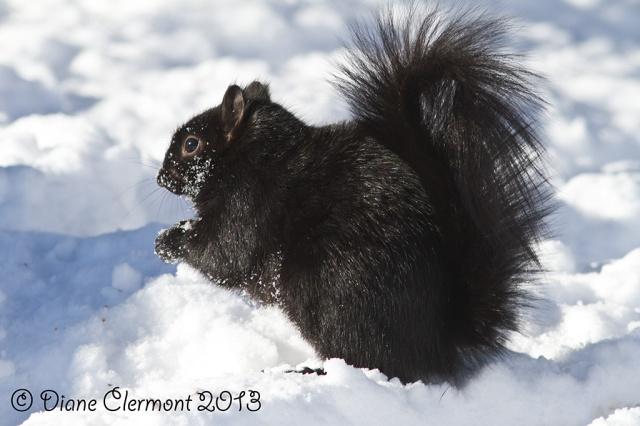 Ecureuil noir