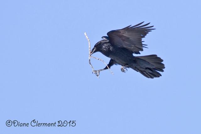 Grand Corbeau IMG_4144