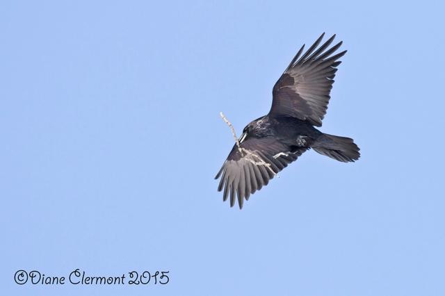 Grand Corbeau IMG_4146