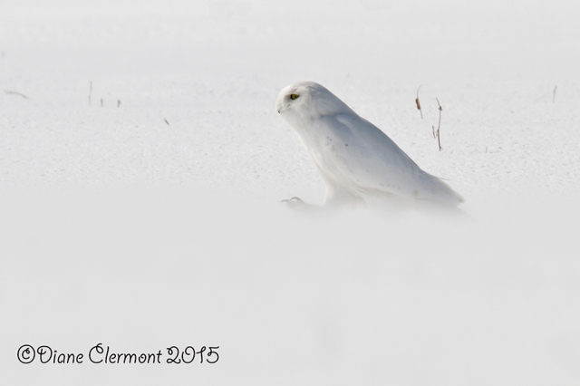 Harfang des neiges IMG_7111