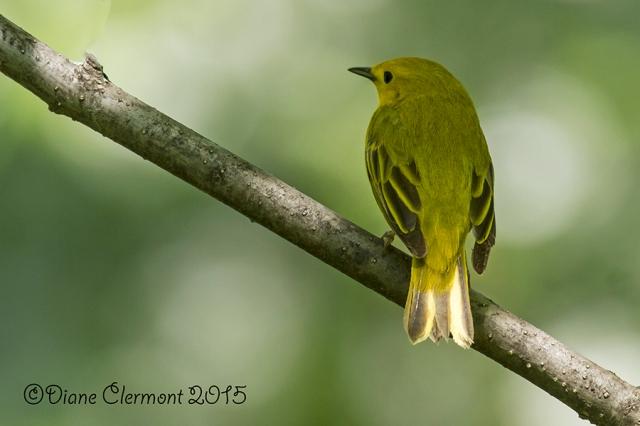 Paruline jaune _MG_9806
