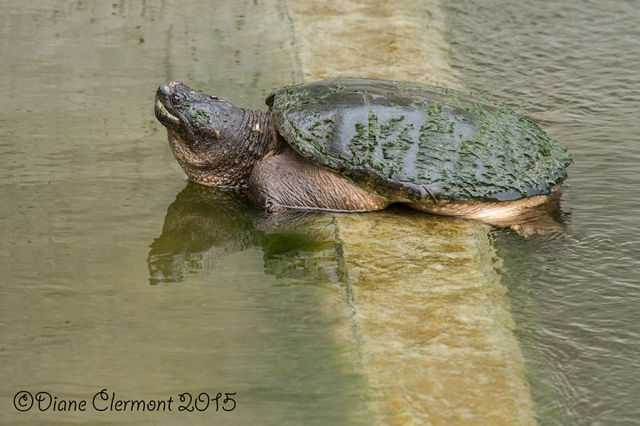 Tortue _MG_9899