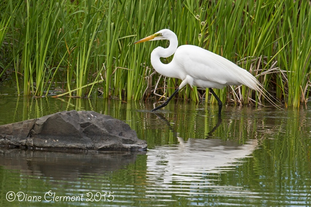 Grande aigrette _MG_4658
