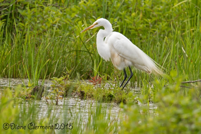Grande aigrette _MG_5047