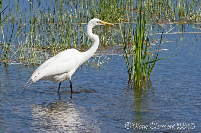 Grande aigrette _MG_6535