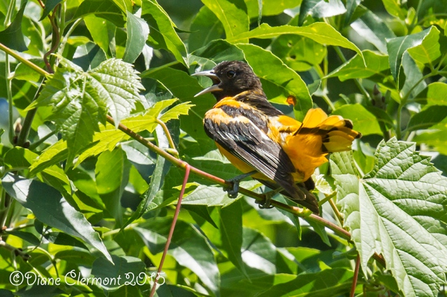 Oriole de Baltimore _MG_4898