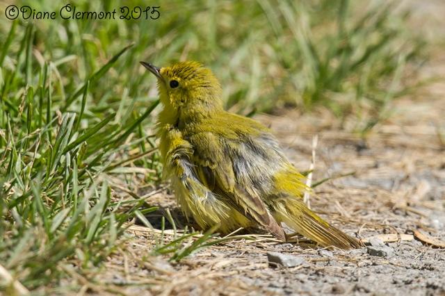 Paruline jaune _MG_4845