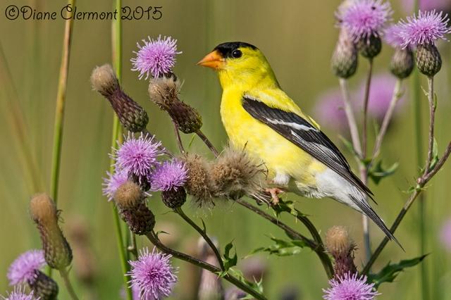 Chardonneret jaune _MG_7931