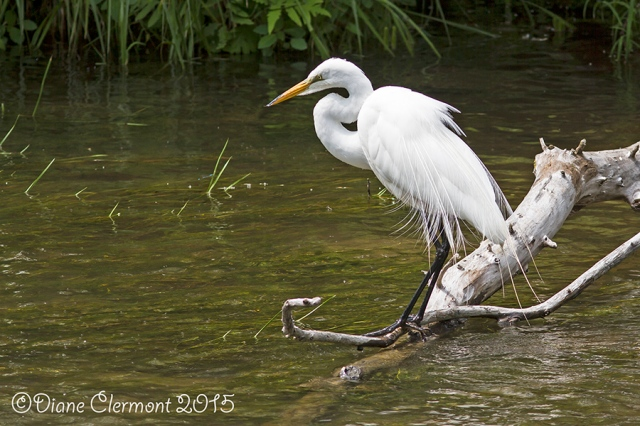 Grande aigrette _MG_7421