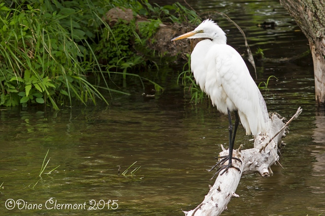 Grande aigrette _MG_7457