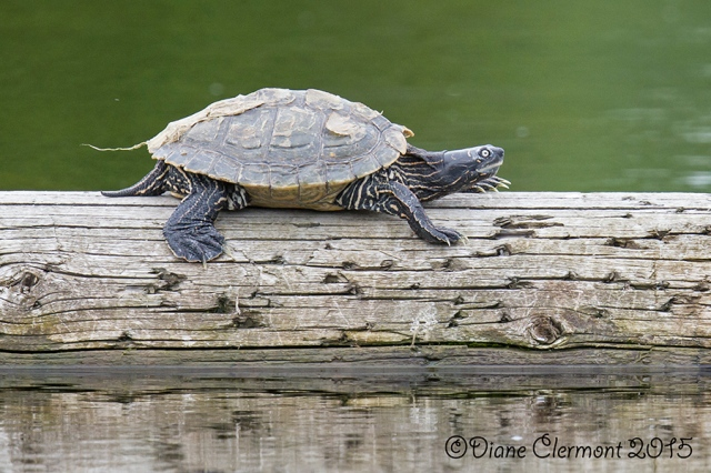 Tortue _MG_5770