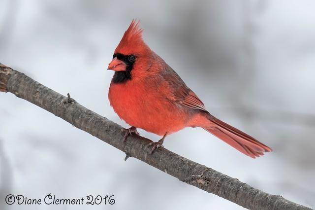 Cardinal rouge_L2A1008 flou