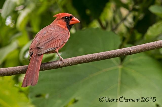 Cardinal rouge_L2A7922