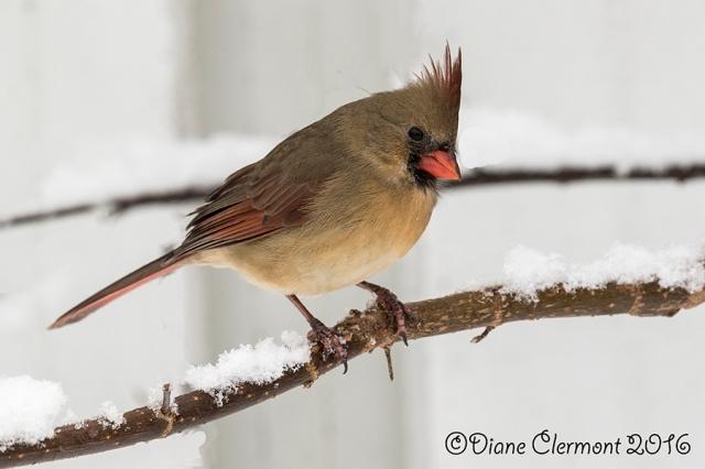 Cardinal_rouge_L2A1605