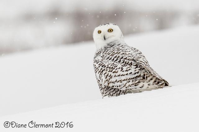Harfang des neiges _L2A0736