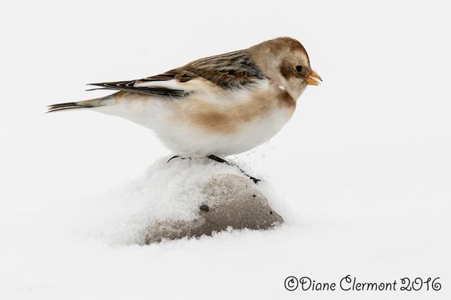 Plectrophane des neiges _L2A0651