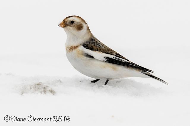 Plectrophane des neiges _L2A0684