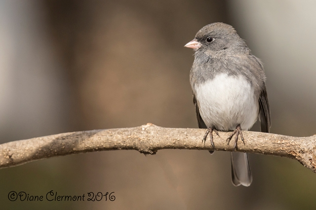 Junco ardoisé _MG_6595