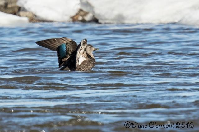 Sarcelle à ailes bleues_MG_4536