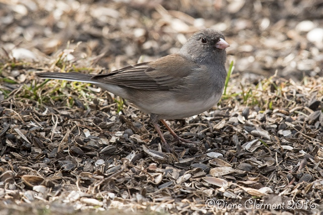 Junco ardoisé _MG_7128