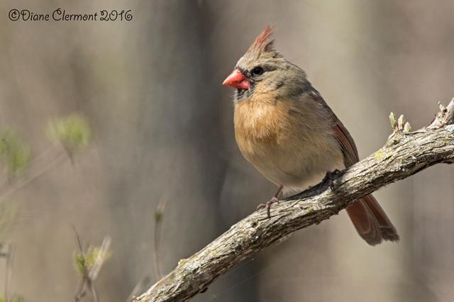 Cardinal rouge _MG_0484