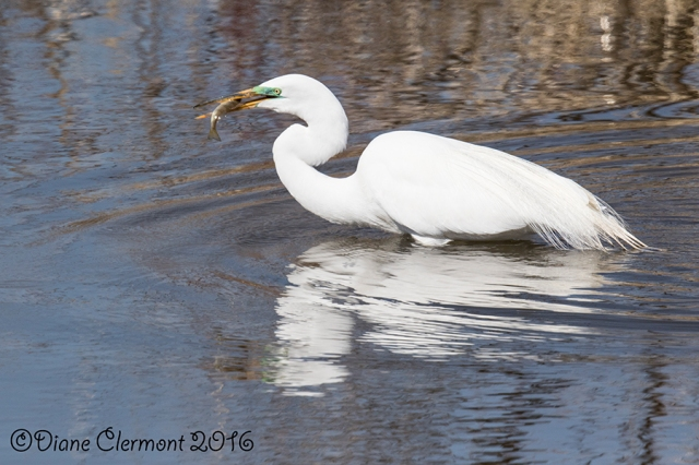 Grande Aigrette_MG_8548