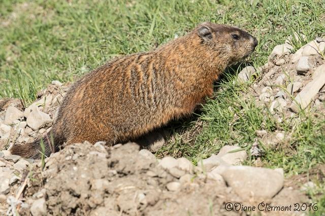 Marmotte _MG_0332