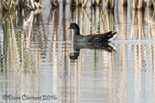 gallinule-damerique_mg_1439