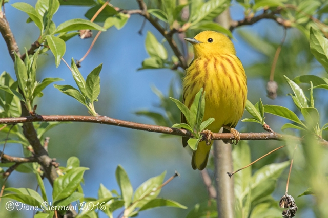 paruline-jaune-_mg_0988