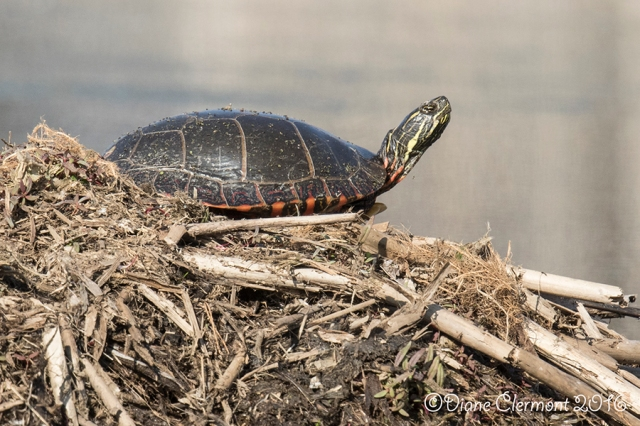 tortue-peinte-_mg_1416