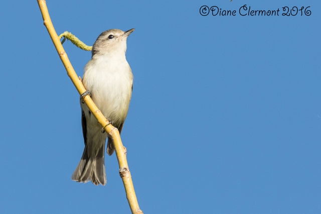 vireo-melodieux_mg_1378