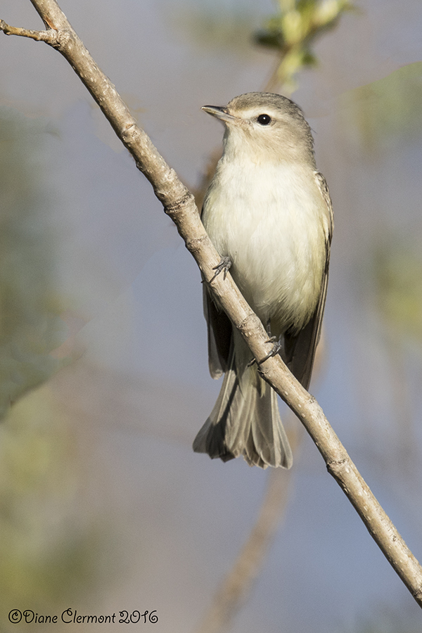vireo-melodieux-_mg_1355