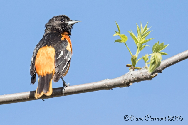 oriole-de-baltimore-_mg_2208