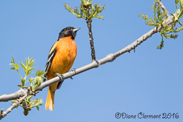 oriole-de-baltimore_mg_2225