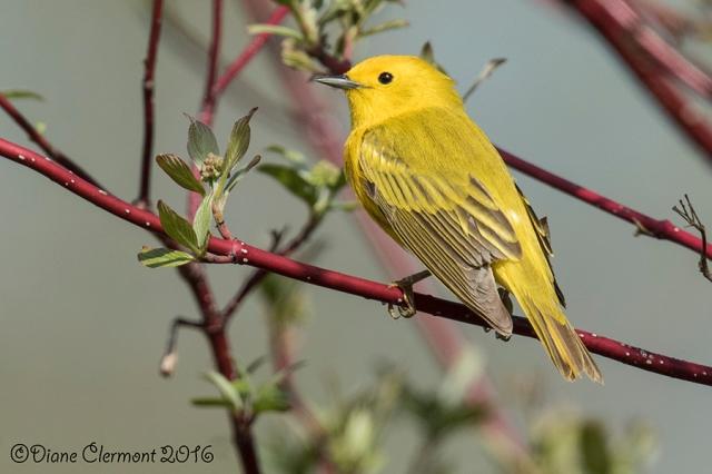 paruline-jaune-_mg_2272