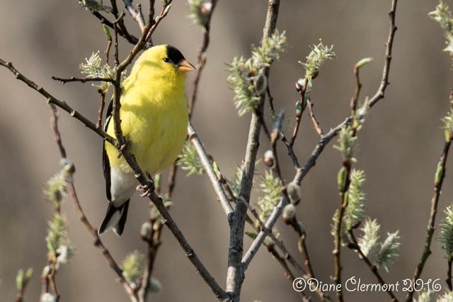 chardonneret-jaune-_mg_3770