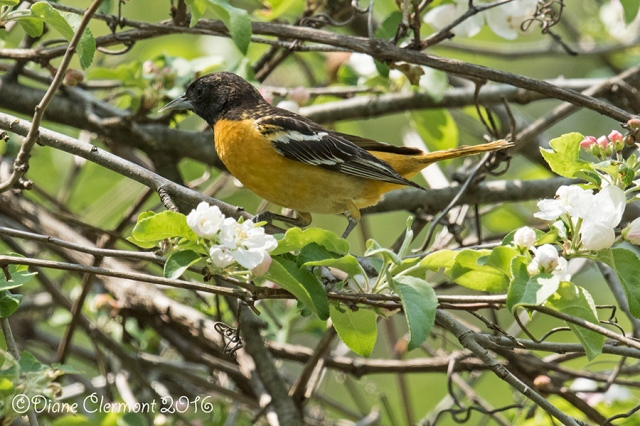oriole-de-baltimore-_mg_3290