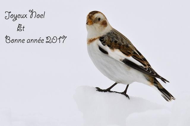 plectrophane-des-neiges-voeux-2017
