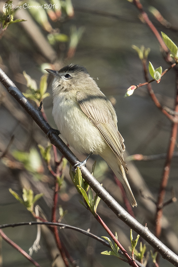 vireo-melodieux-_mg_3695