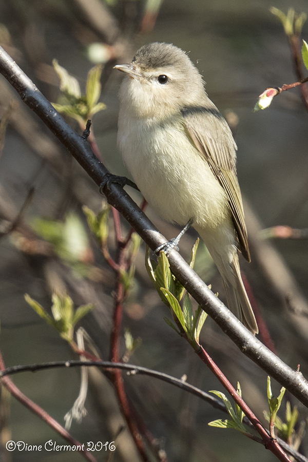vireo-melodieux-_mg_3700