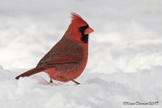 cardinal-rouge-_mg_0263