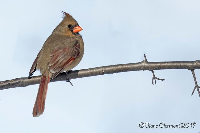 cardinal-rouge-_mg_0299