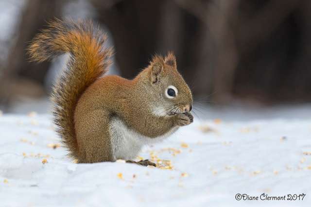 ecureuil-roux-_mg_1570