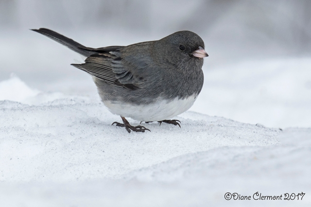 junco-ardoise-_mg_1583