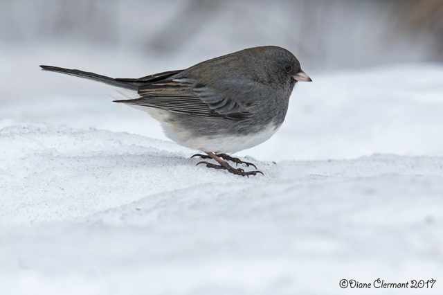 junco-ardoise-_mg_1584
