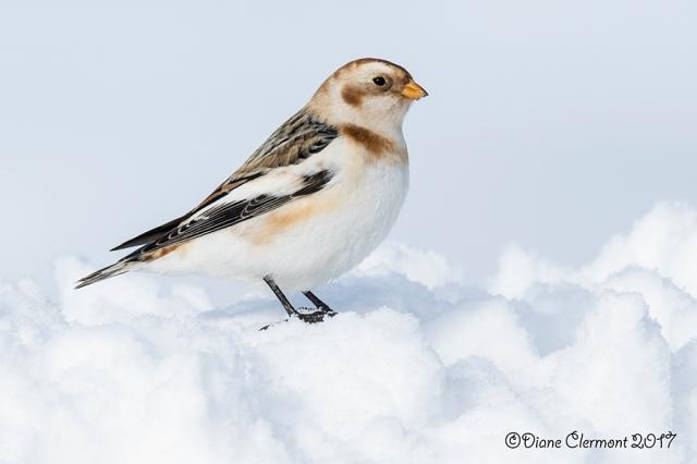 plectrophane-des-neiges-_mg_9844