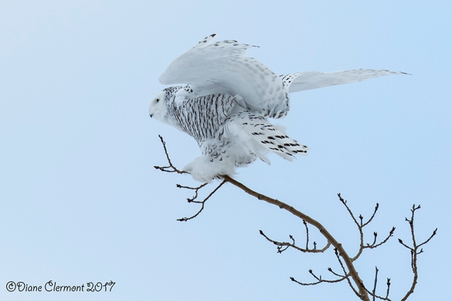 harfang-des-neiges-_mg_2918