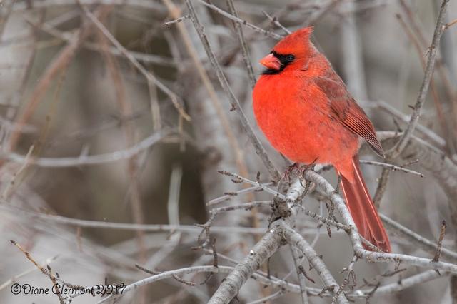 cardinal-rouge-_mg_3958
