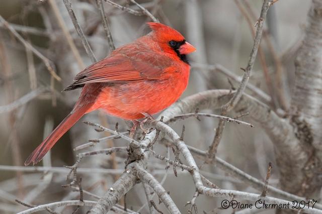 cardinal-rouge-_mg_3960