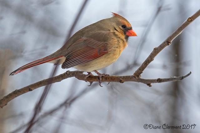 cardinal-rouge-_mg_4005